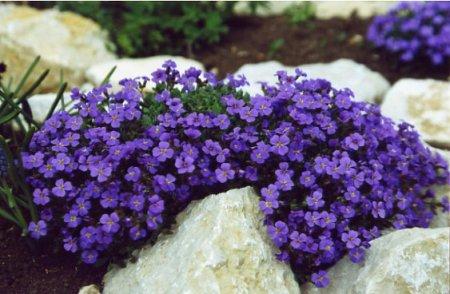 Aubrieta Hybride Silberrand  Weißbuntes Blaukissen